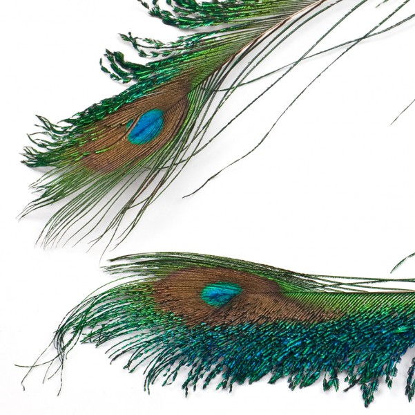 Peacock sword feathers 35-50 cm